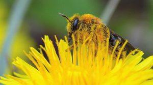 la pollinisation par les abeilles